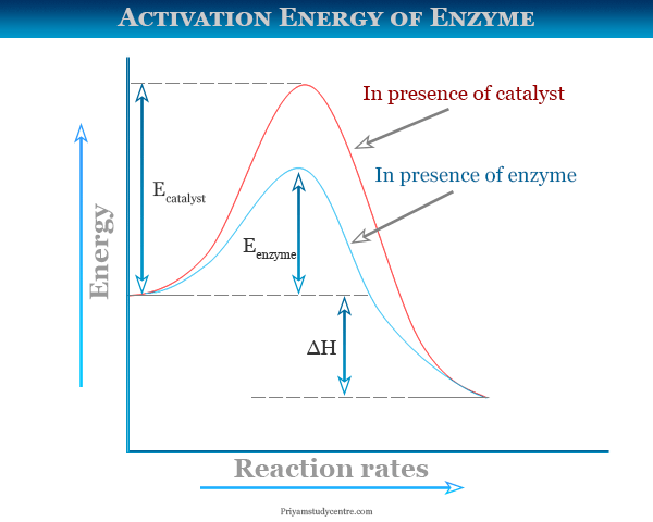 Activation energy diagram of enzyme in enzyme catalysis reaction