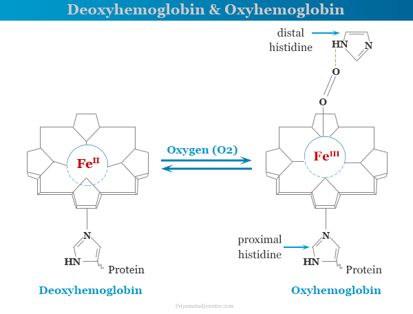 Structure and function of deoxyhemoglobin and oxyhemoglobin