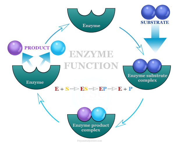 Enzymes function on substrate and examples of catalysis reaction